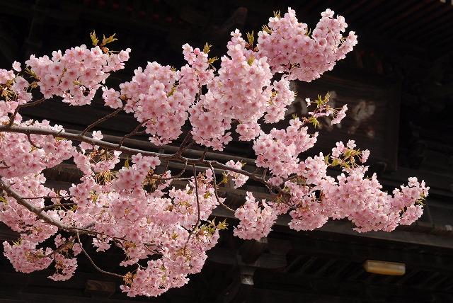 妙林寺の河津桜4