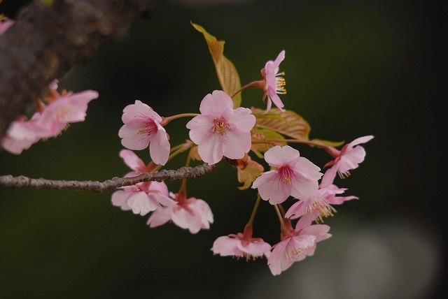 妙林寺の河津桜8