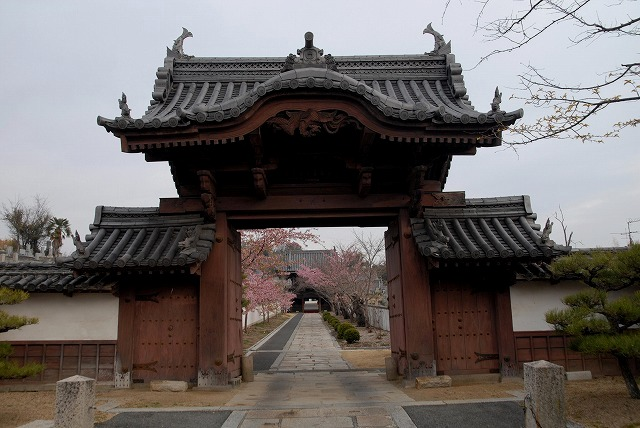 妙林寺の河津桜18