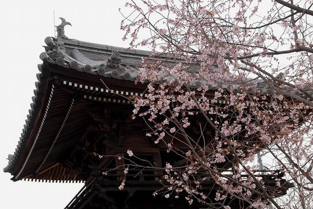 妙林寺の河津桜25