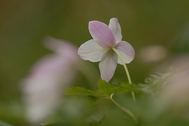 ウラベニイチリン草2