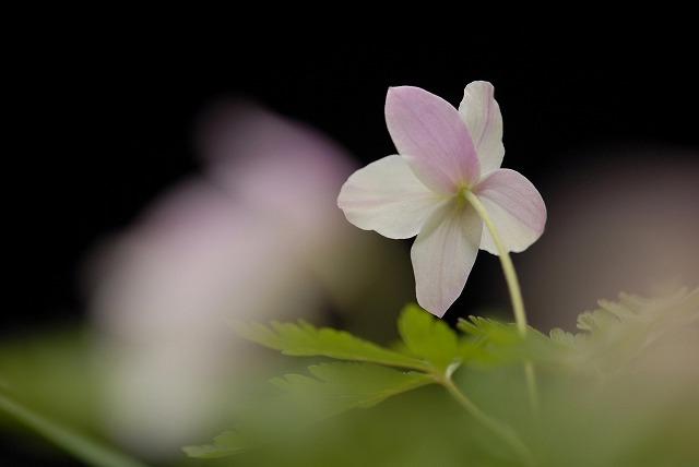 ウラベニイチリン草2-2