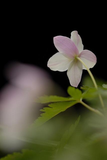ウラベニイチリン草2-3