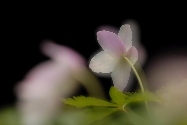 ウラベニイチリン草2-4