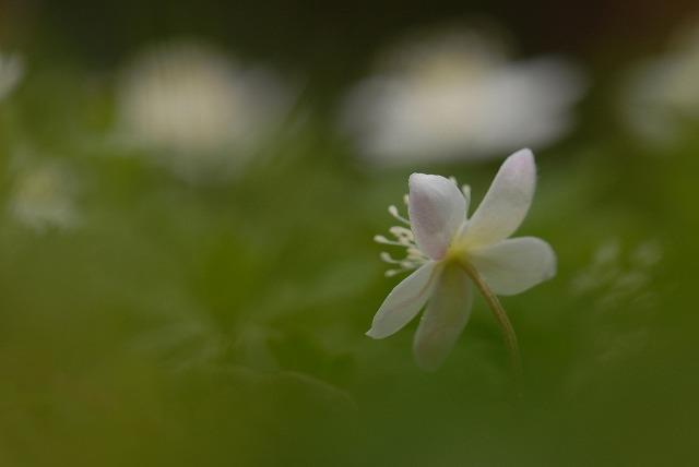 ニリン草3