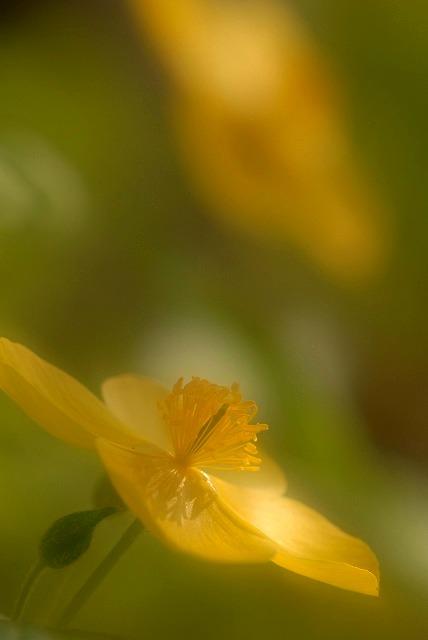 ヤマブキ草2