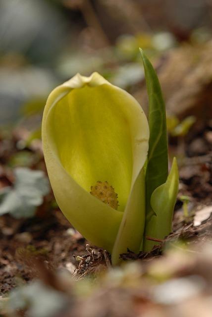 黄緑色したザゼン草1