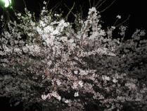 120420 夜桜2