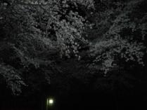 120420 夜桜4