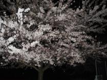 120420 夜桜5