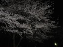 120420 夜桜6