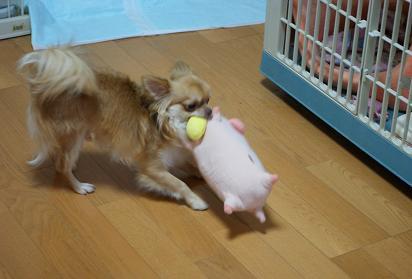ゆめちゃんと豚