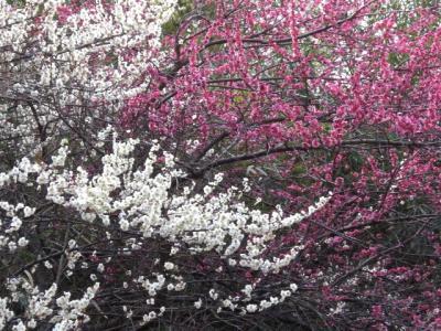 梅の花 紅白