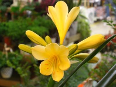 君子蘭 黄