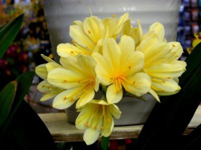 君子蘭 黄2