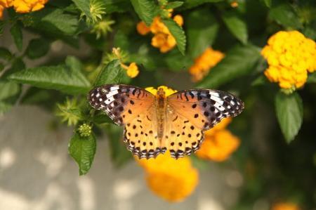 蝶 ツマグロヒョウモン2