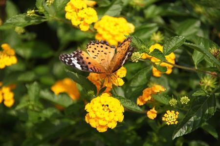 蝶 ツマグロヒョウモン4