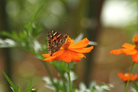 蝶 ヒメアカタテハ1