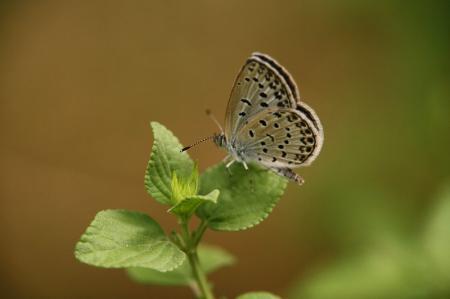 蝶 シジミ
