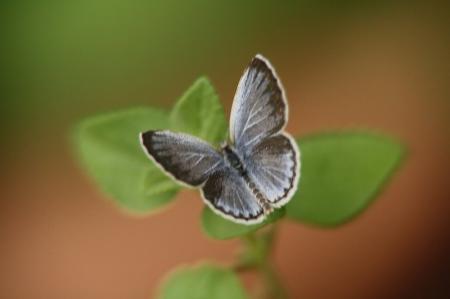 蝶 シジミ1
