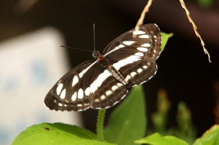 蝶 ミスジチョウ