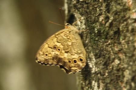 蝶 ヒカゲチョウ