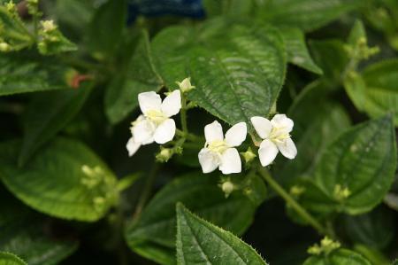 ハシカンボク 白花