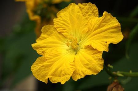 ヘチマの花1