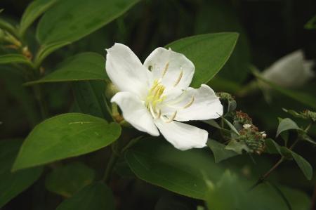 白花 ノボタン1