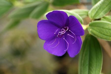 シコンノボタン 花