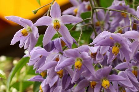 ヤマホロシ 房咲き1