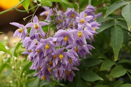 ヤマホロシ 房咲き