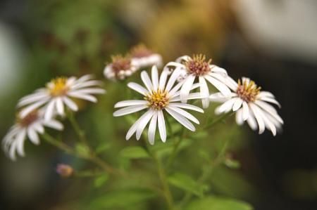 ヨメナ 白花