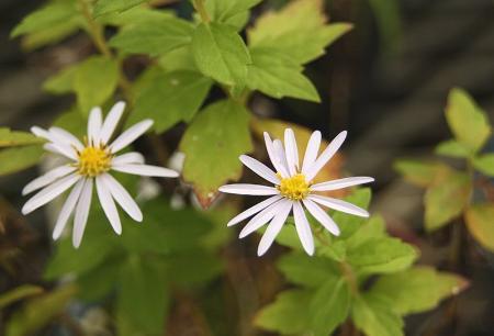 ヨメナ 白花1