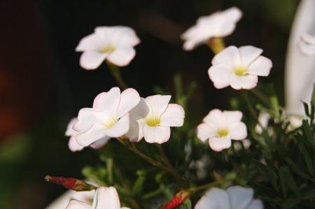 オキザリス パーシーカラー1