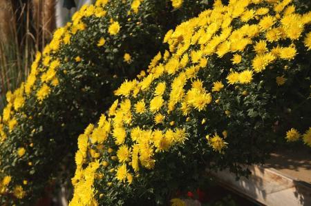ケンガイ菊1