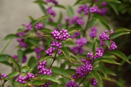 コムラサキ 紫式部