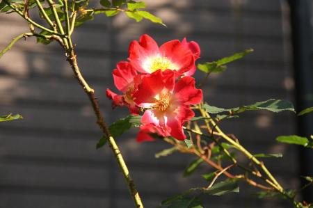 薔薇 カクテル1