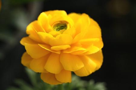 ラナンキュラス 黄