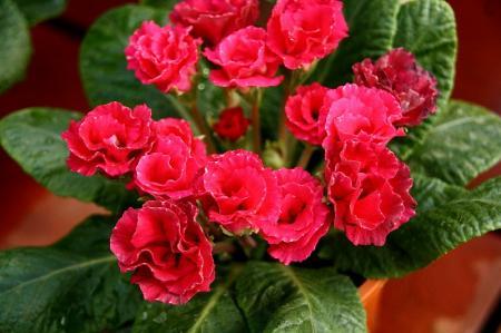 八重咲きジュリアン1