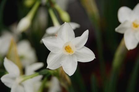 日本水仙1 ペーパーホワイト