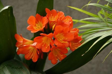 受け咲き 君子蘭1