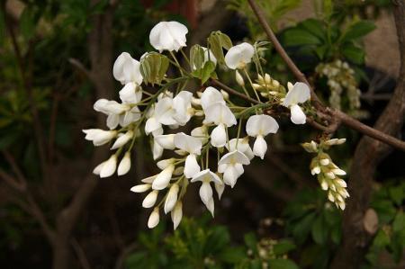 ヤマフジ 白花1