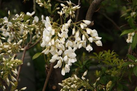 ヤマフジ 白花2