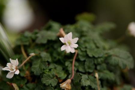 ヒメフウロ 八重白花