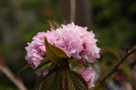 菊しだれ桜