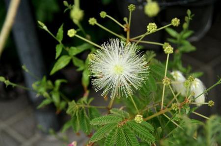 白花ネム1