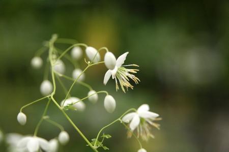 シキンカラマツ 白花