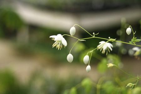 シキンカラマツ 白花1