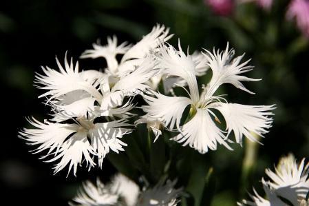 カワラナデシコ 白